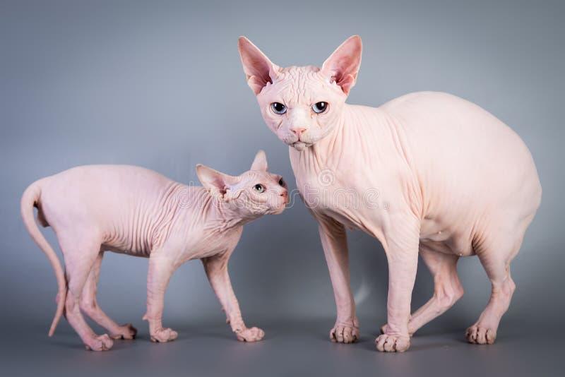 Котенок Sphynx канадский безволосый с его папой на серой предпосылке, фото студии стоковое фото rf