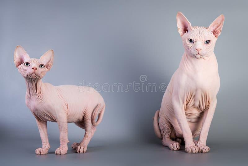 Котенок Sphynx канадский безволосый с его папой на серой предпосылке, фото студии стоковые изображения rf