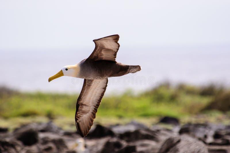 , который развевали летание альбатроса в Галапагос стоковое изображение