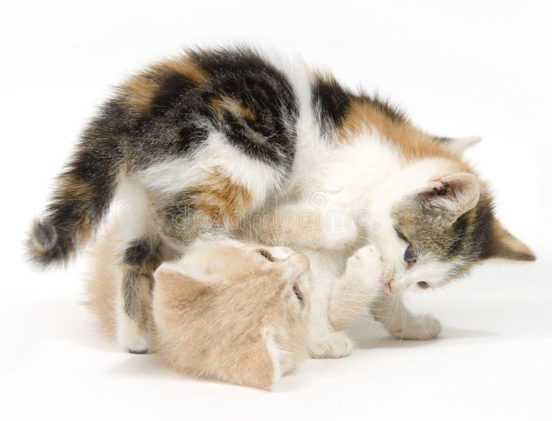 Download коты предпосылки играя белизну 2 Стоковое Изображение - изображение насчитывающей драка, снасть: 1198665