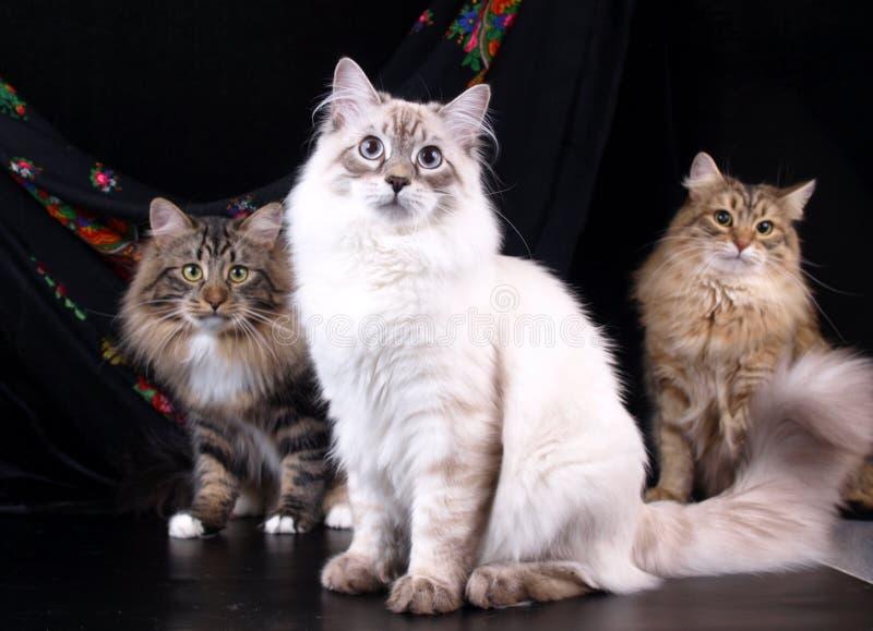 Коты, симпатичные пушистые любимчики стоковые фотографии rf
