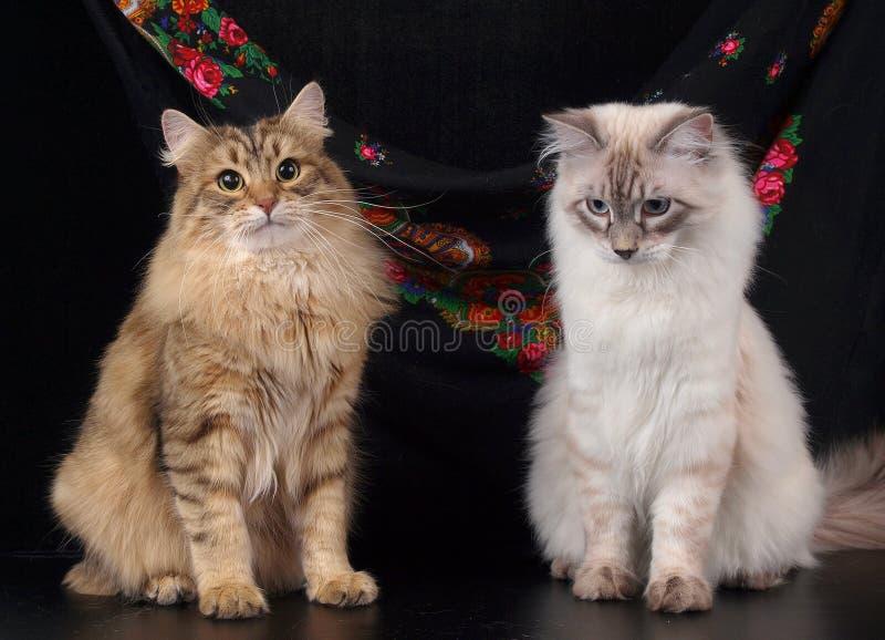 Коты, симпатичные пушистые любимчики стоковые изображения rf