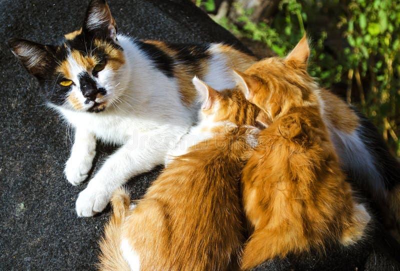 Котята кота мати подавая стоковая фотография rf
