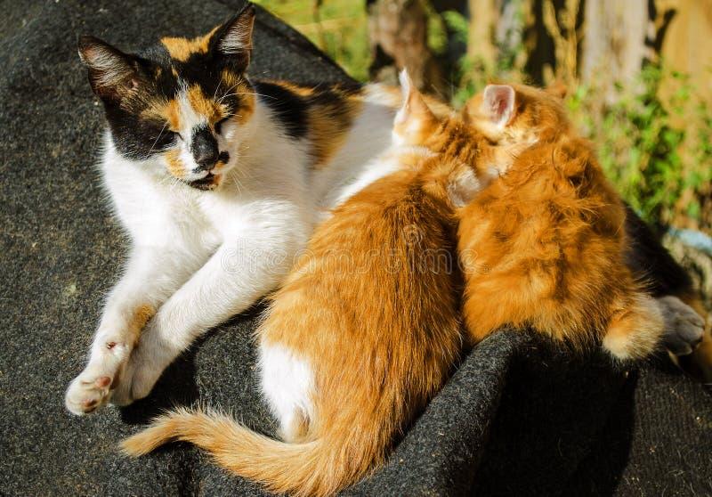 Котята кота мати подавая стоковые изображения