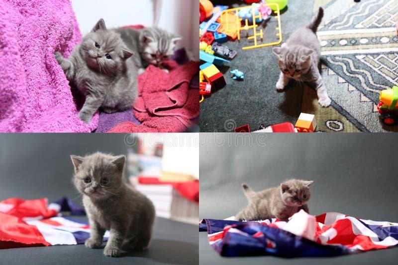 Котята младенца играя на ковре и с Великобританией сигнализируют, multicam стоковые фото