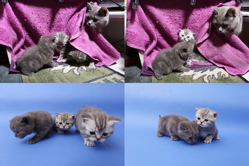 Котята младенца играя на mauve предпосылке, multicam стоковая фотография rf