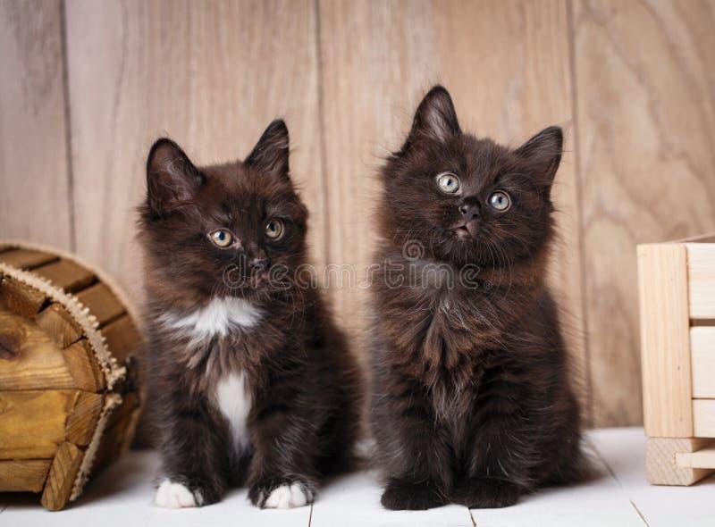 Котята Bobtail Kurilian пары смешные стоковая фотография rf