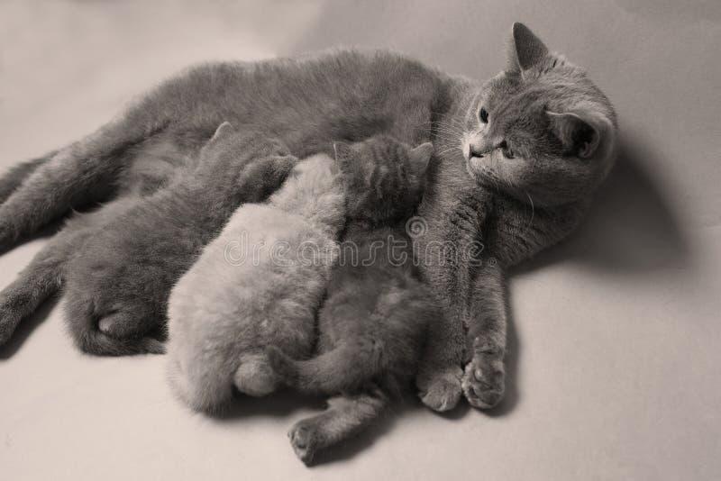 Котята suckling для матери, породы британцев Shorthair стоковое изображение