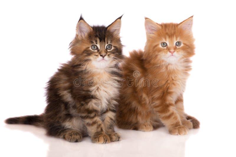 2 котят енота Мэн стоковая фотография