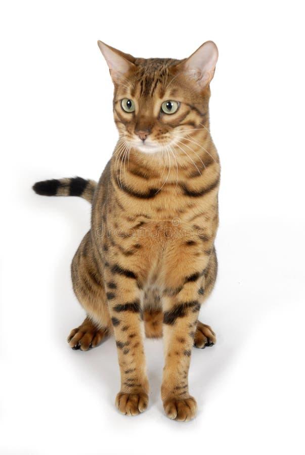кот Бенгалии