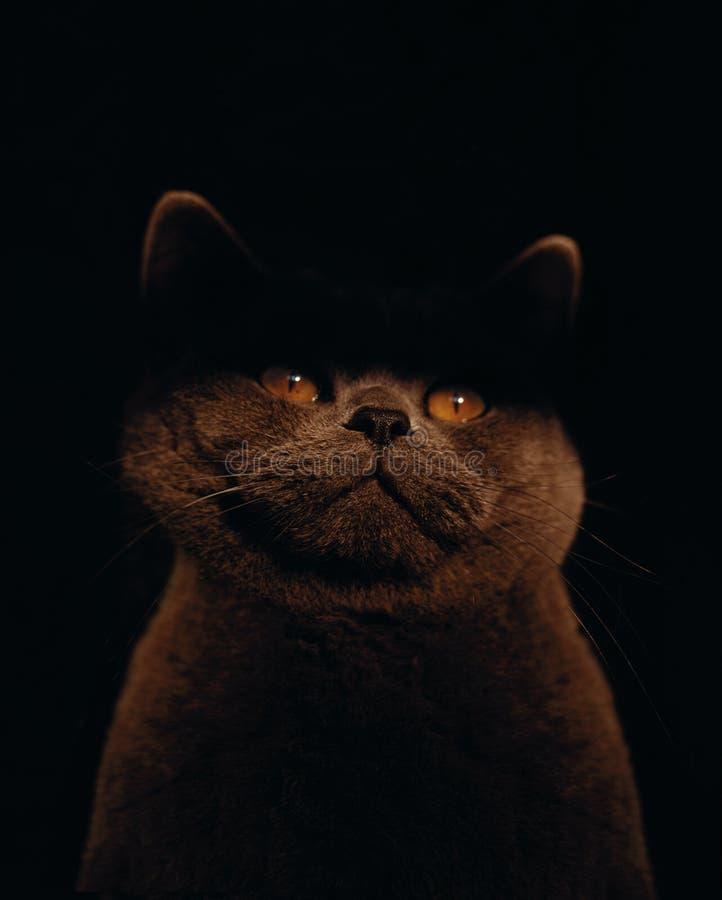 Кот Брайна с глазами желтого цвета сидел в темноте стоковые изображения rf