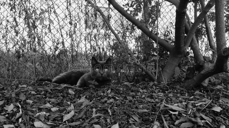 Кот виска, черно-белый стоковые изображения