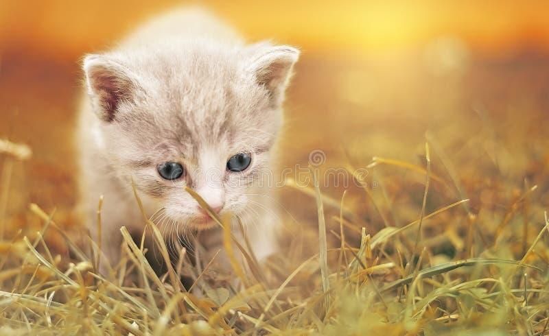 Кот, вискеры, млекопитающее, небольшое к среднего размера котам
