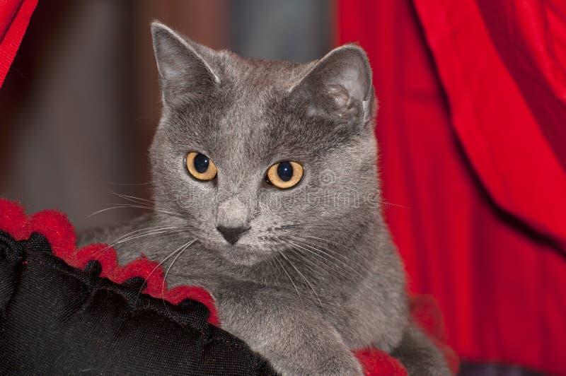 Кот выставки Стоковое Фото