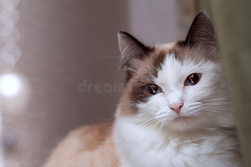 Кот, голубоглазый, длинн-с волосами, шарики, слепимость, любимчик, взгляд, меховой, глаза, сторона, портрет, животное, предпосылк стоковые изображения rf