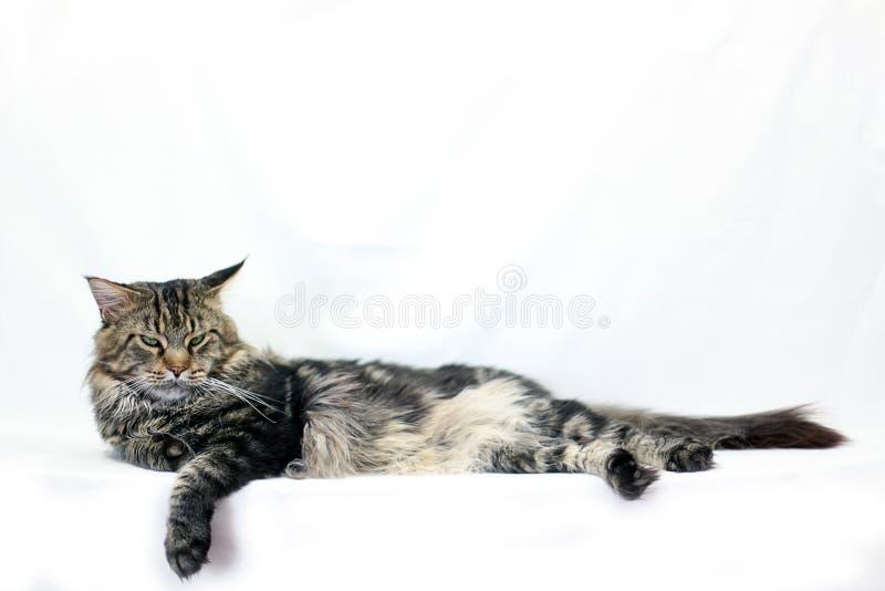 Кот енота Мейна лежа близко вверх на белой предпосылке стоковые фотографии rf