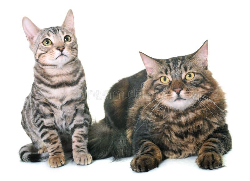 Кот енота Мейна и котенок Бенгалии стоковое фото