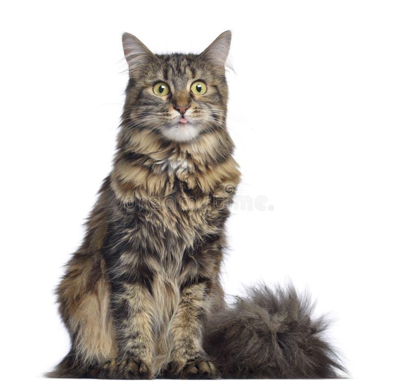 Кот енота Мейна, сидя и изолированный смотря на, стоковые фото
