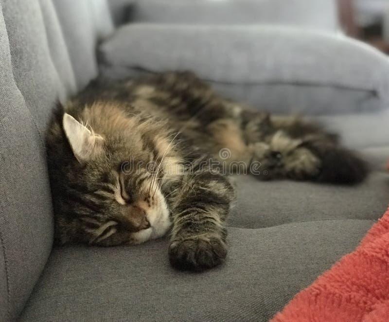 Кот енота спать Мейн стоковые фото