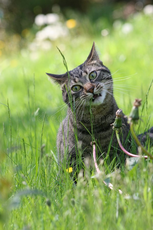 кот есть траву стоковые изображения rf