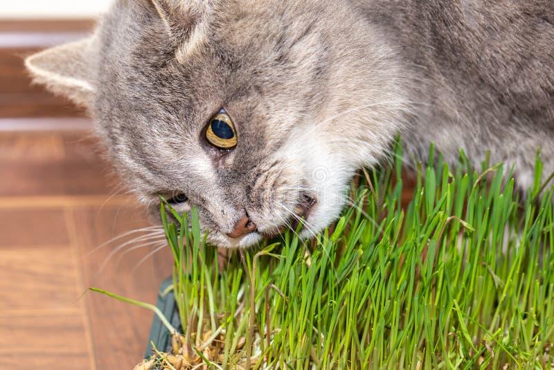Кот ест траву, который выросли в коробке стоковая фотография rf