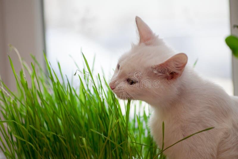 Кот ест траву стоковое фото rf
