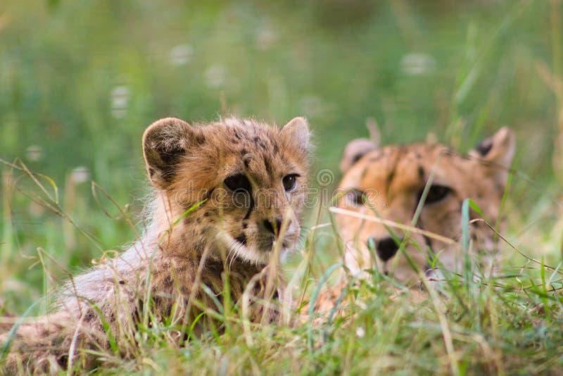 кот животного живой природы матери семьи гепарда младенца стоковое изображение