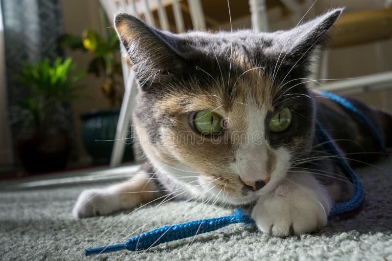 Кот играя с строкой ботинка стоковая фотография rf