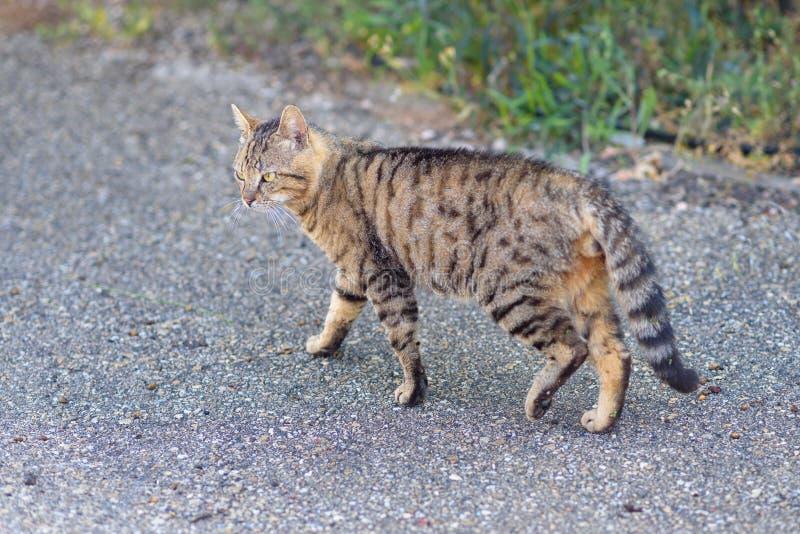 Кот идя вниз по улице стоковые фотографии rf