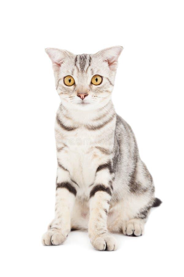 Download Кот изолированный на белизне Стоковое Изображение - изображение насчитывающей красивейшее, backhoe: 33736075