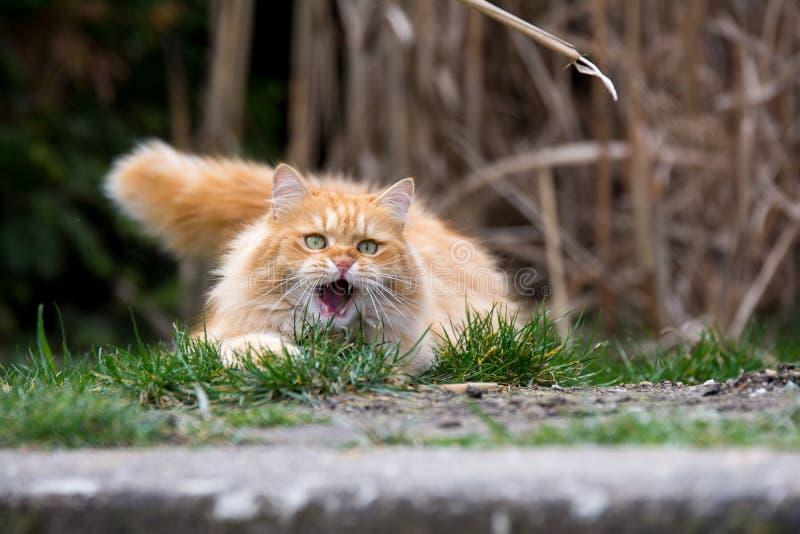 Кот имбиря милый ждать на мыши стоковая фотография
