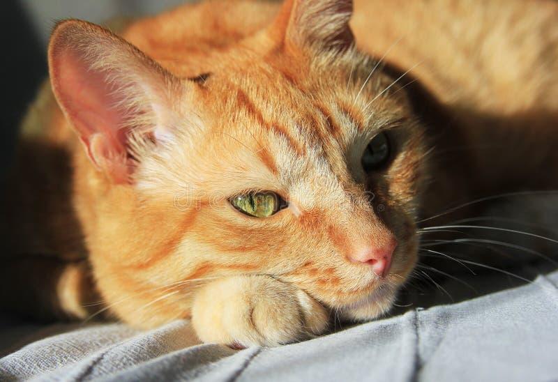 Кот имбиря на солнце closeup стоковое изображение rf
