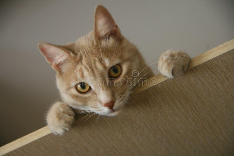 Кот имбиря при яркие глаза смотря сверху стоковые изображения rf