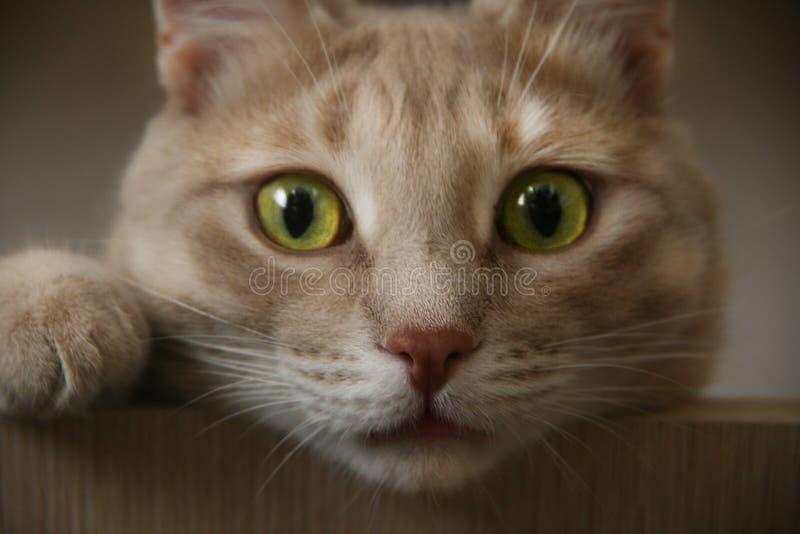Кот имбиря при яркие глаза смотря сверху стоковая фотография rf