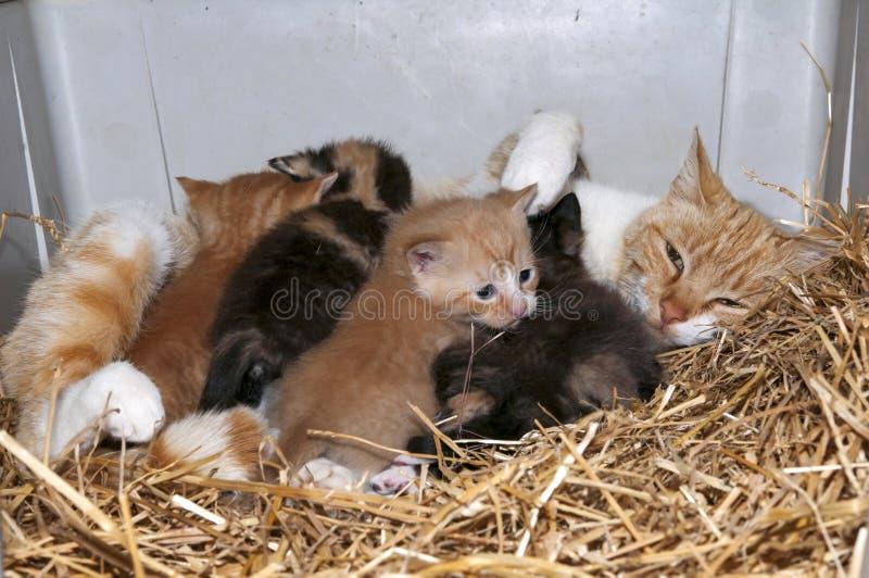 Кот и котята Momma стоковые фотографии rf