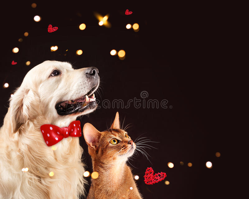 Кот и собака, абиссинский котенок, золотой retriever смотрят право стоковые фото
