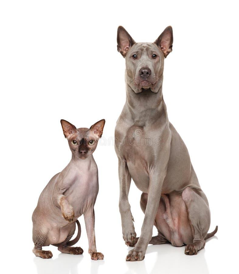 Кот и собака перед белой предпосылкой стоковое фото rf