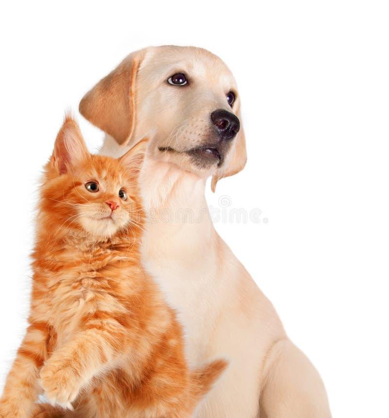 Кот и собака совместно, котенок енота Мейна, золотой retriever смотрят левую сторону изолированный на белизне стоковая фотография