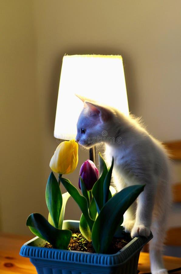 Кот и тюльпан стоковая фотография