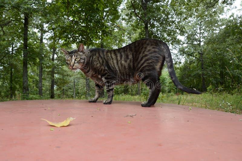 Кот идя на верхнюю часть тележки в Миссури стоковое фото rf