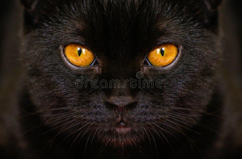 Кот конца-вверх серьезный черный с желтым цветом наблюдает в темноте Чернота стороны стоковая фотография rf