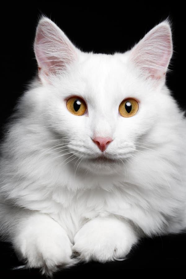 Кот конца-вверх чисто белый на черной предпосылке стоковые изображения