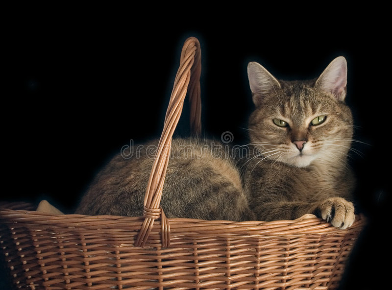 кот корзины стоковая фотография rf