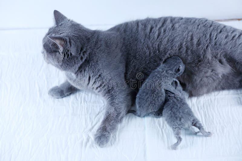 Кот кормить ее котят новорожденного, великобританскую породу Shorthair стоковое изображение rf