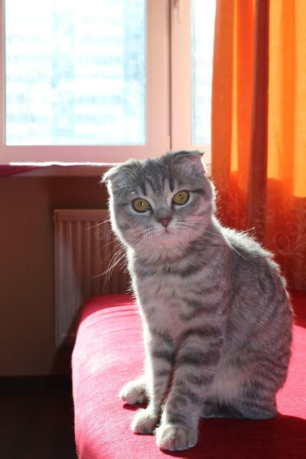 Кот, коты, любимцы, шотландская створка стоковые фотографии rf