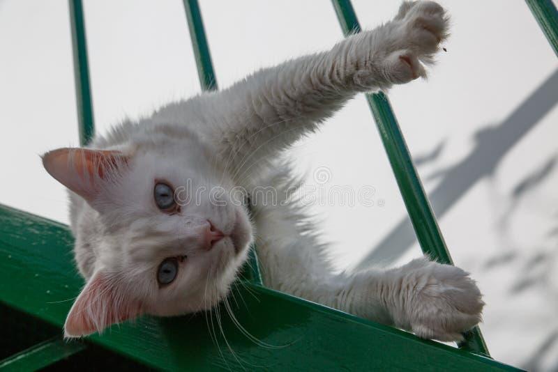 Кот кошачьего взгляда белый с голубыми глазами стоковое фото