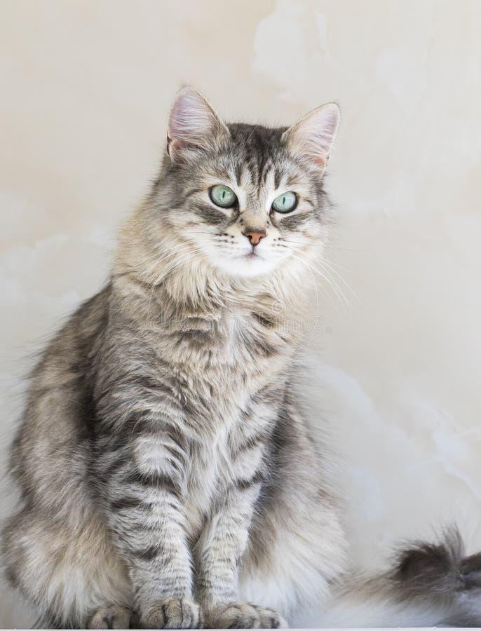 Кот красоты длинный с волосами сибирской породы Прелестный любимец поголовья, hypoallergenic котенка стоковое изображение