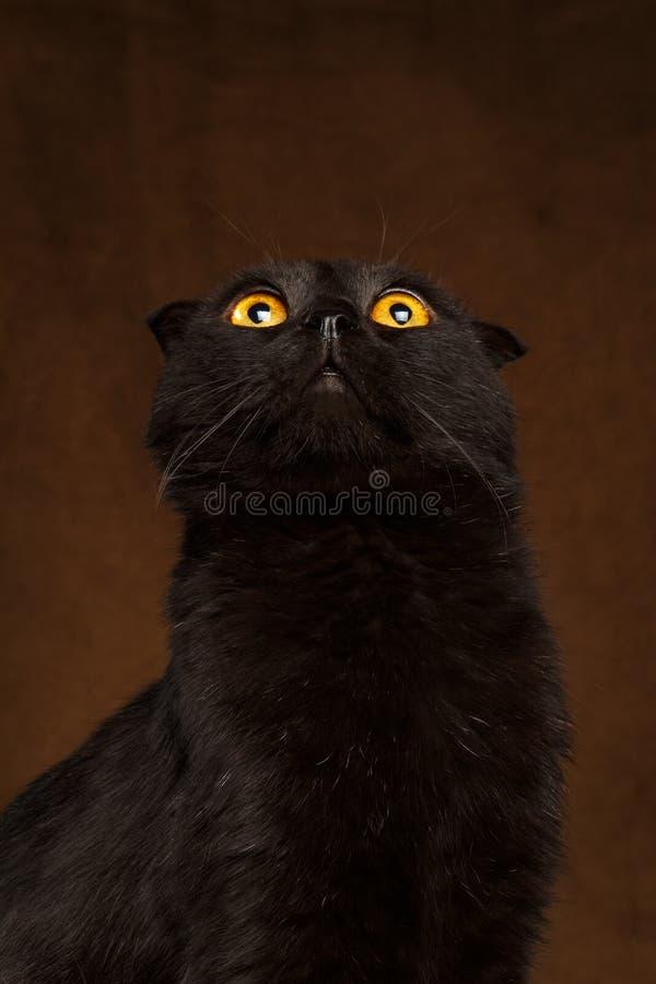Кот крупного плана черный смотря вверх с большими глазами на коричневом цвете стоковое фото