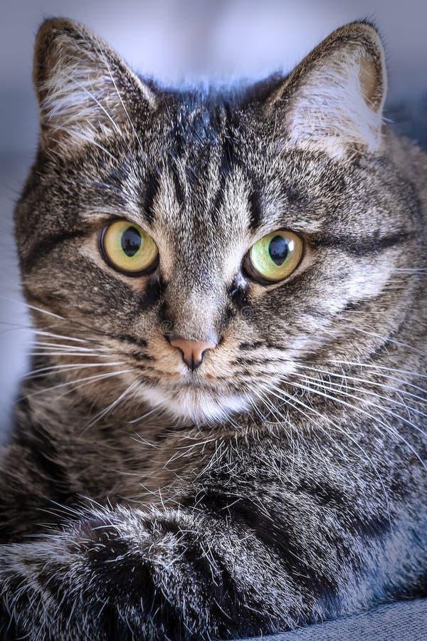 Кот лежит и смотрит в объектив на покрашенном конце-вверх предпосылки стоковое изображение rf