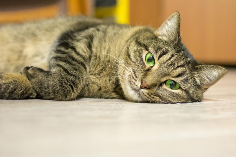 Кот лежит на поле и смотрит прямо в камеру Концепция: остатки, любимцы, релаксация стоковое изображение rf